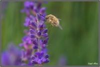 180606 Lavendel - Wollschweber