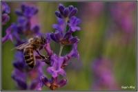 180606 Lavendel - Biene