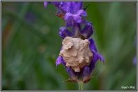 180606 Lavendelbluete - Töpferwespennest