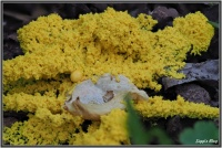 180602 Gelbe Lohblüte /  Hexenbutter (Fuligo septica)
