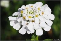 190421 Schleifenblume