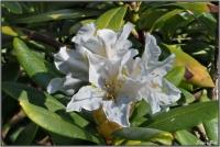 190421 Weißer Rhododendron