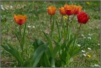 190426 Tulpen
