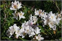190426 Weißer Rhododendron