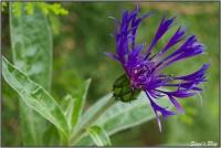 190505 Berg Flockenblume