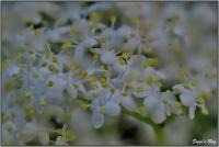 190531 Holunderblüte