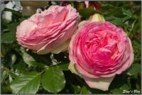 19060 Rose